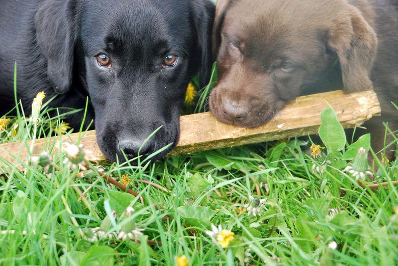 Puppies! - Twee labradors