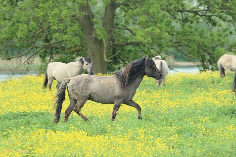 Konikpaarden in Munnikenland - Rondom slot Loevestein (Munnikenland) lopen verschillende kuddes Konikpaarden.<br /> Deze hengst had het erg druk om z