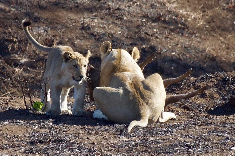Lionking vangt pumba  - Leeuwin vangt wrattenzwijn om haar welpen te voeden.