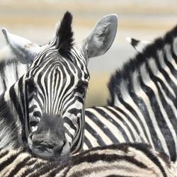 Zebra's samen