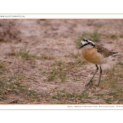 Kittlitzs Plover, Kenia