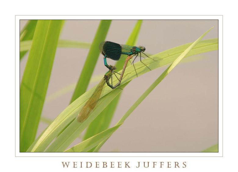 Weidebeekjuffers - Fietstocht gisteren bij de Overijsselse Vecht.kwamik dit paartje tegen