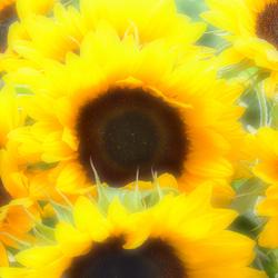 Zomaar Zonnebloemen