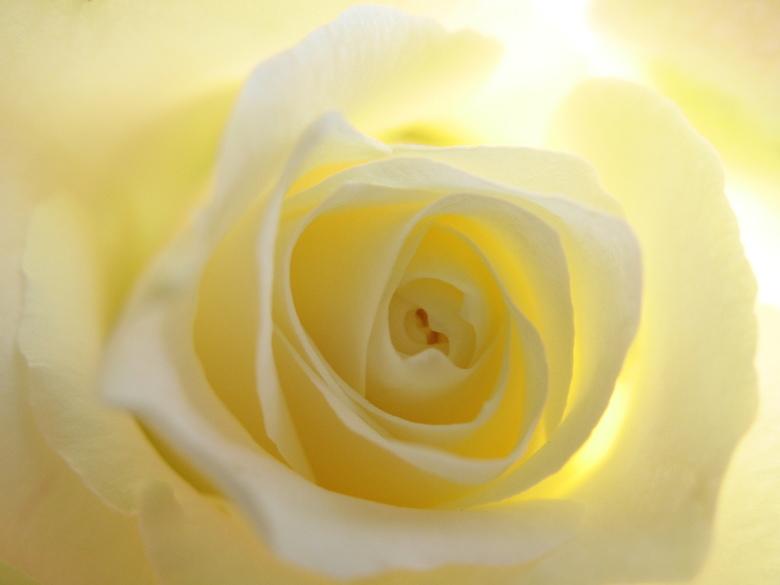 inside warmth - geborgenheid en warmte van een roos