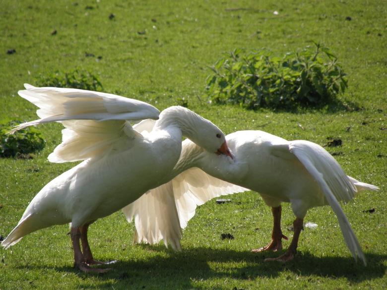 Goose fight! - Twee ganzen moesten het even uitvechten met elkaar...