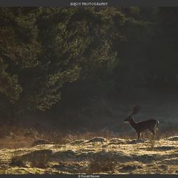 Damhert bij ochtend licht :-)