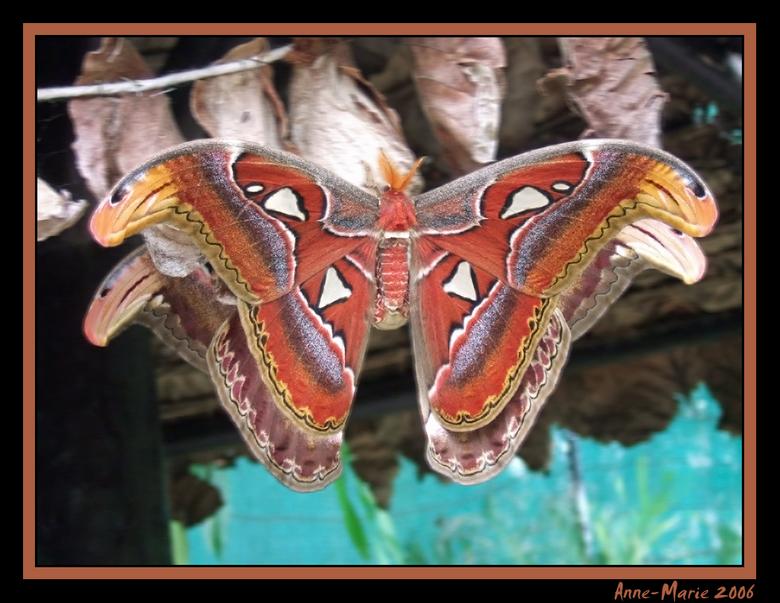 Vlinderduo - Zie hier twee parende vlinders...<br /> Doordat ze met elkaar verbonden waren bleven ze rustig hangen zodat ik de foto kon nemen. De vli