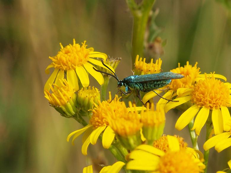 Nog nooit eerder gezien!!!! - Vandaag dit mooi gekleurde vlindertje/vliegje gezien, geen idee wat het is!!