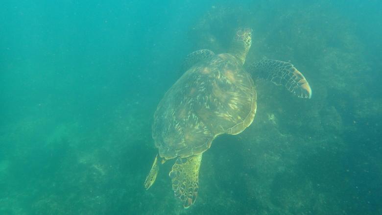 Zeeschildpad Galapagos -