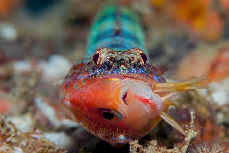 Gotcha - Hagedisvis heeft net een oranje rifvis gevangen (4cm)