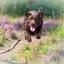 Bruine labrador