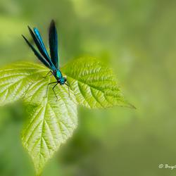 Blue wings