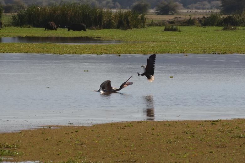 Uit mijn gebied! - De pelikaan bevond zicht in het gebied van de Afrikaanse Zeearend met als gevolg dat hij werd aangevallen door twee arend puur om h