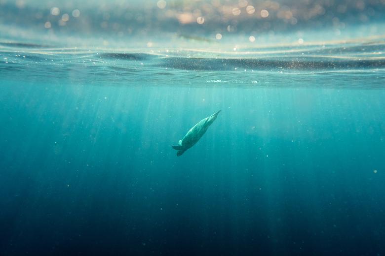Diving in to the darkness - Een zeeschildpad daalt richting de donkere diepte van de oceaan, Moeder natuur op haar best.