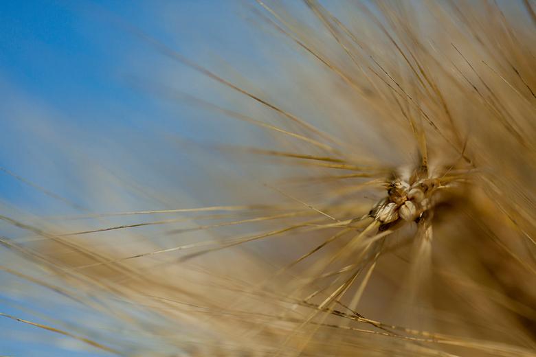 Wintergerst 2 - In het begin van de zomer staat dit gewas te schitteren op het land. Wintergerst, het knappe broertje van de gewone gerst, als je het