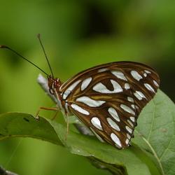 Vlinder op St Eustatius