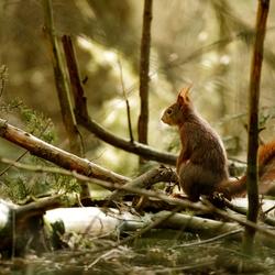 Op de uitkijk - Rode eekhoorn
