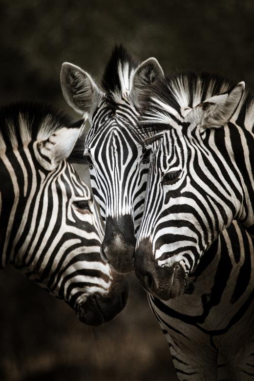 Put your heads together - De zebra's staken hun hoofden bij elkaar alsof ze iets met elkaar moesten bespreken
