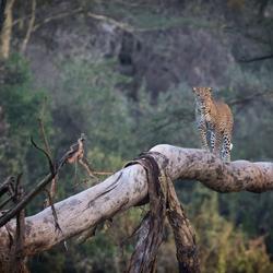 Luipaard op een boom