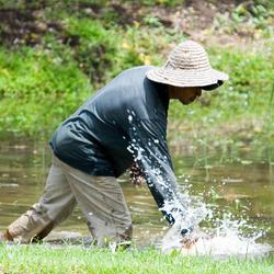 Rijstvelden bewerken