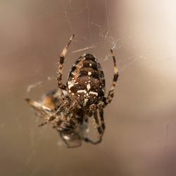 Hommel verstrikt in het spinnenweb