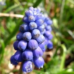 Blauw druifje