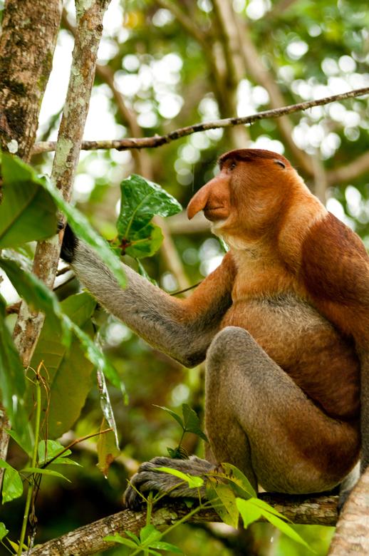 Neusaap Borneo Maleisie