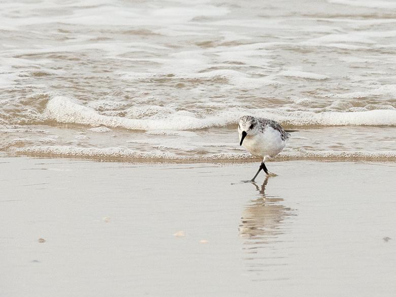 Snel Texelaartje - Tijdens ons weekend op Texel ontmoetten we ook kleine strandlopertjes. Heel leuke vogeltjes. Maar het viel niet mee ze op de foto t