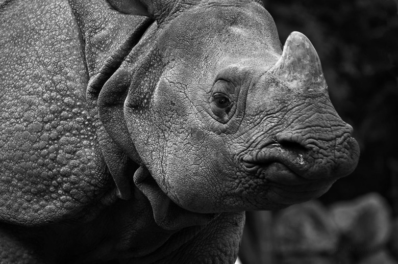 De Indische Neushoorn - Vandaag in Dierenpark Amersfoort genoten van de Indische Neushoorns Puri & Thanos. Wat een gave beesten om te zien.