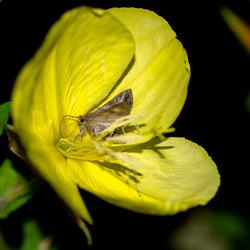 Langtong nachtvlinder op Teunisbloem