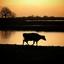 Koe tijdens zonsondergang