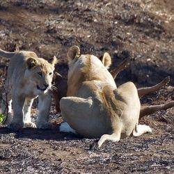 Lionking vangt pumba