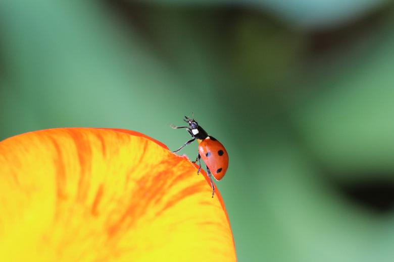 Ladybird swinging on a tulip - Ladybird swinging on tulip xs.JPG