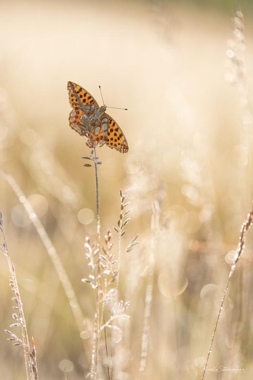 Diamonds are forever - En hier ging het natuurlijk om, deze heerlijke vlindertjes. Door het slechte weer wat aan ons weekend vooraf ging waren ze best