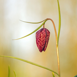 De kievitsbloemen zijn er weer volop 2