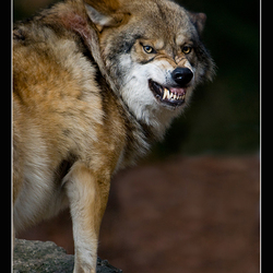 Boos wolfje