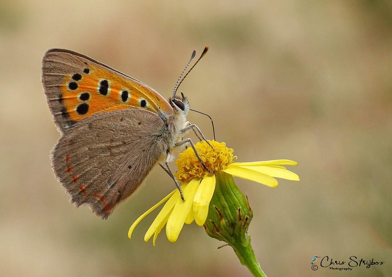 Kleine vuurvlinder - De kleine vuurvlinder (Lycaena phlaeas) is een vlinder uit de familie Lycaenidae (de kleine pages, vuurvlinders en blauwtjes).<br