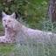 Witte Lynx
