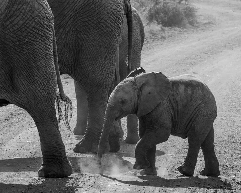 Beperkt zicht ... - Een grote kudde olifanten passeerde ons en stak de weg over. Op het laatst verscheen dit kleintje in het stof achter een woud van
