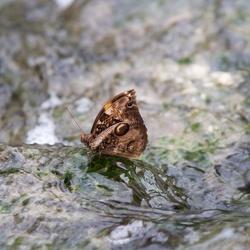 Vlinder op het water
