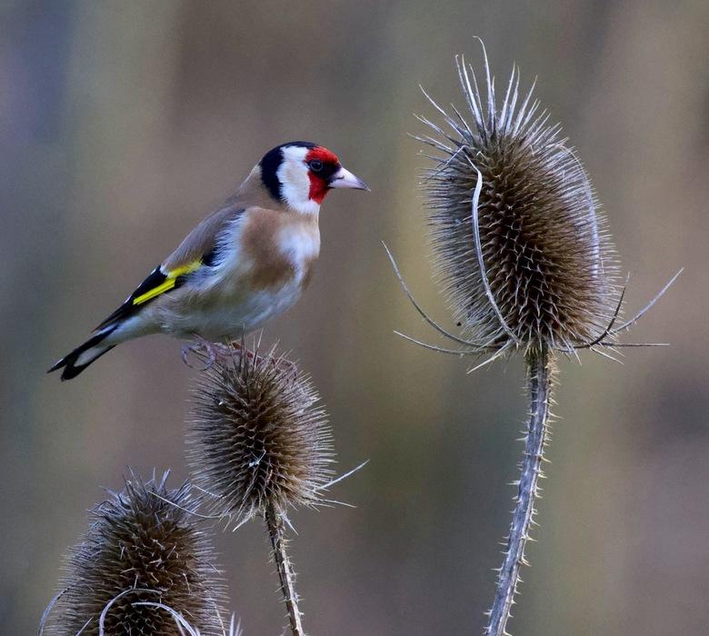 Puttertje - weer een putter in de tuin...blijven prachtige vogels....