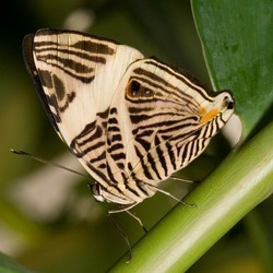 Artis vlinder