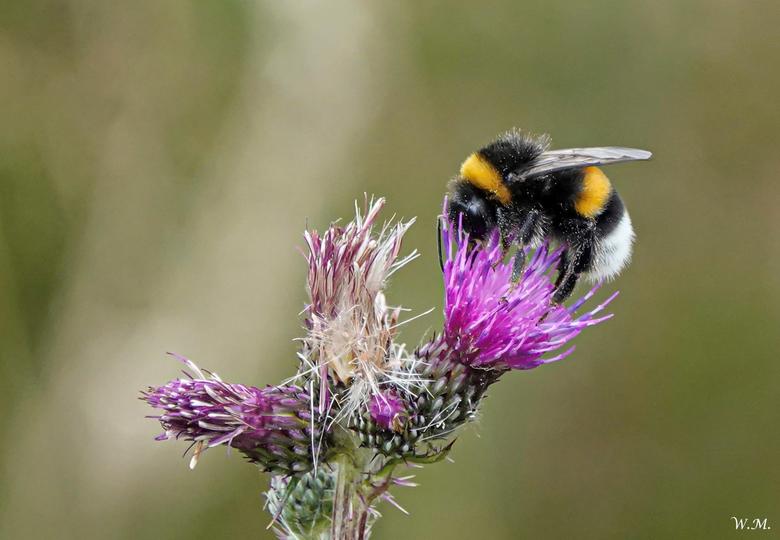 Hommel op distel - Het blijft een mooi gezicht een hommel die zijn pootjes vol heeft met stuifmeel.<br /> Bijen en hommels nemen niet alleen de necta