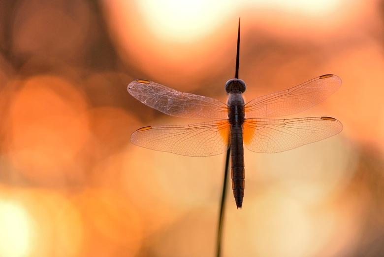 fire - mooie vuurlibel bij opkomende zon