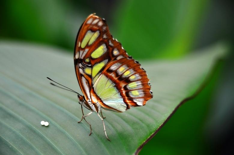 vlinders met ei