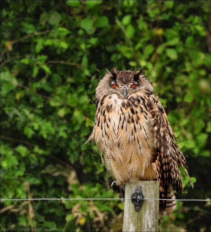 7 augustus  Oehoe. - super blij ben ik met deze foto van de oehoe<br /> de afstand tot de vogel 31,62 meter.<br /> <br /> we weten dat ze er zijn m