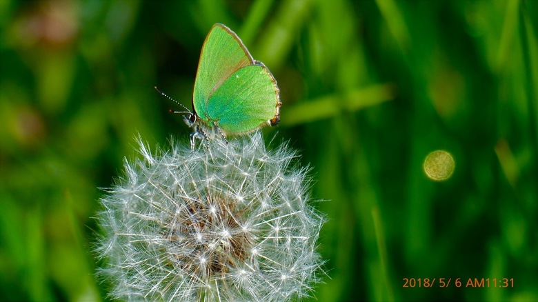 Groentje op paardenbloempluis - Het groentje is maar een heel klein vlindertje afgezet tegen de pluizenbol.