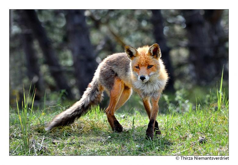 Cute Fox - De ene dag in het gebied van de vossen in de AWD niets gezien van deze prachtige dieren. Volgende dag weer terug, andere wandelroutes genom