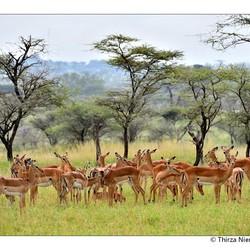 Impala Beauty