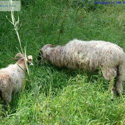 schapen in hoge gras